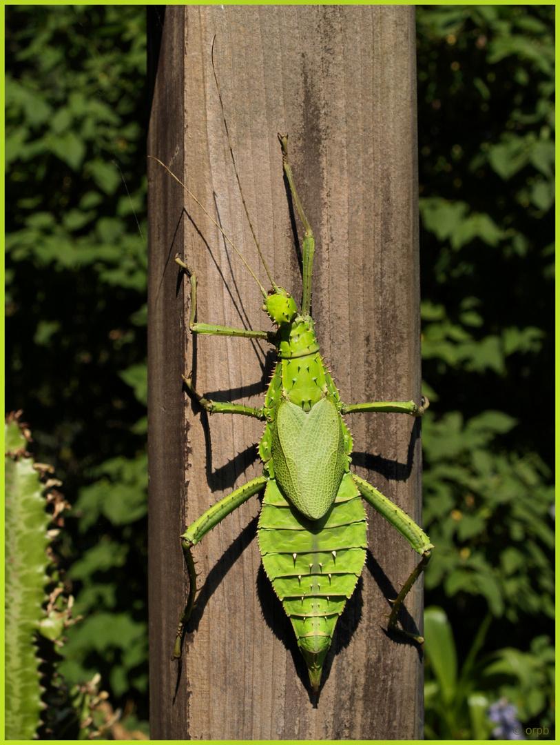 Grüne Riesengespenstheuschrecken (Heteropteryx dilatata)