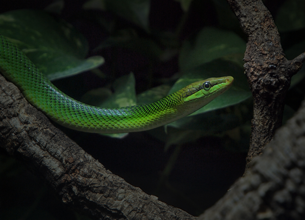 grüne Schlange