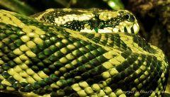 Grüne Schlange, mal aus der Nähe