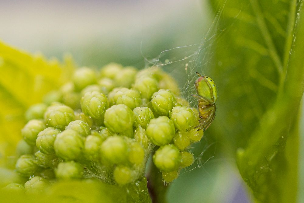 grüne Spinne-2679