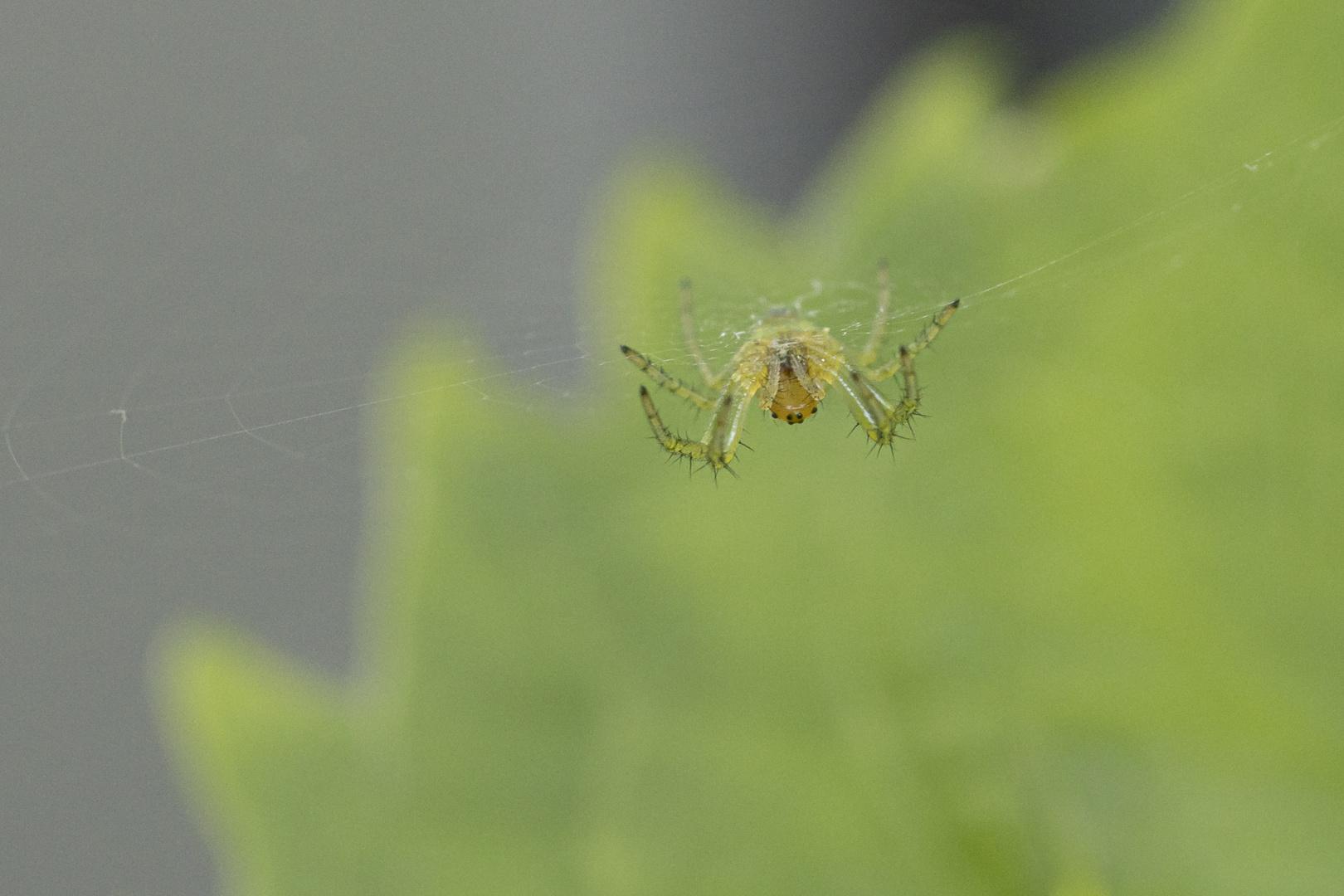 grüne Spinne-2723