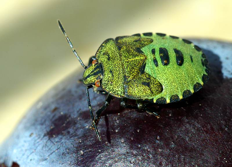 Grüne Stinkwanze (juv.)