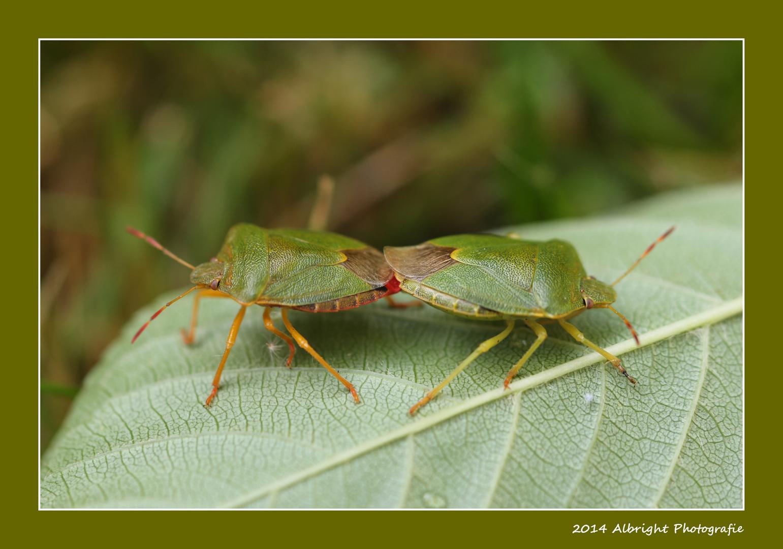 Grüne Stinkwanze (Palomena prasina)