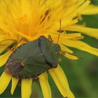 Grüne Stinkwanze (Palomena prasina)...