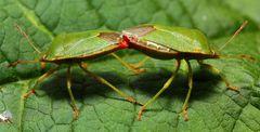 Grüne Stinkwanze (Palomena prasina) - Paarung