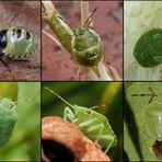 Grüne Stinkwanze (Palomena prasina) - Von der Jugend bis ins Alter