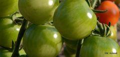 Grüne Tomaten