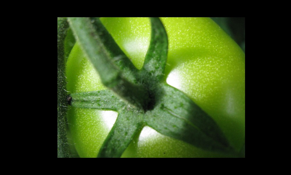 grüne Tomaten...