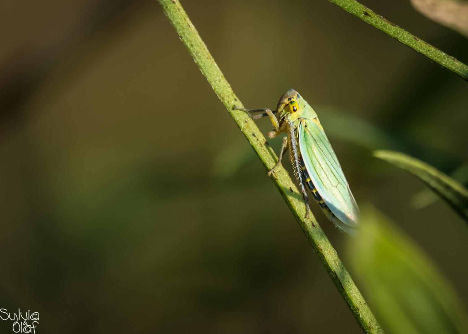 Grüne Zwergzikade (Cicadella viridis)  Seitenansicht