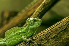 grüner Basilisk