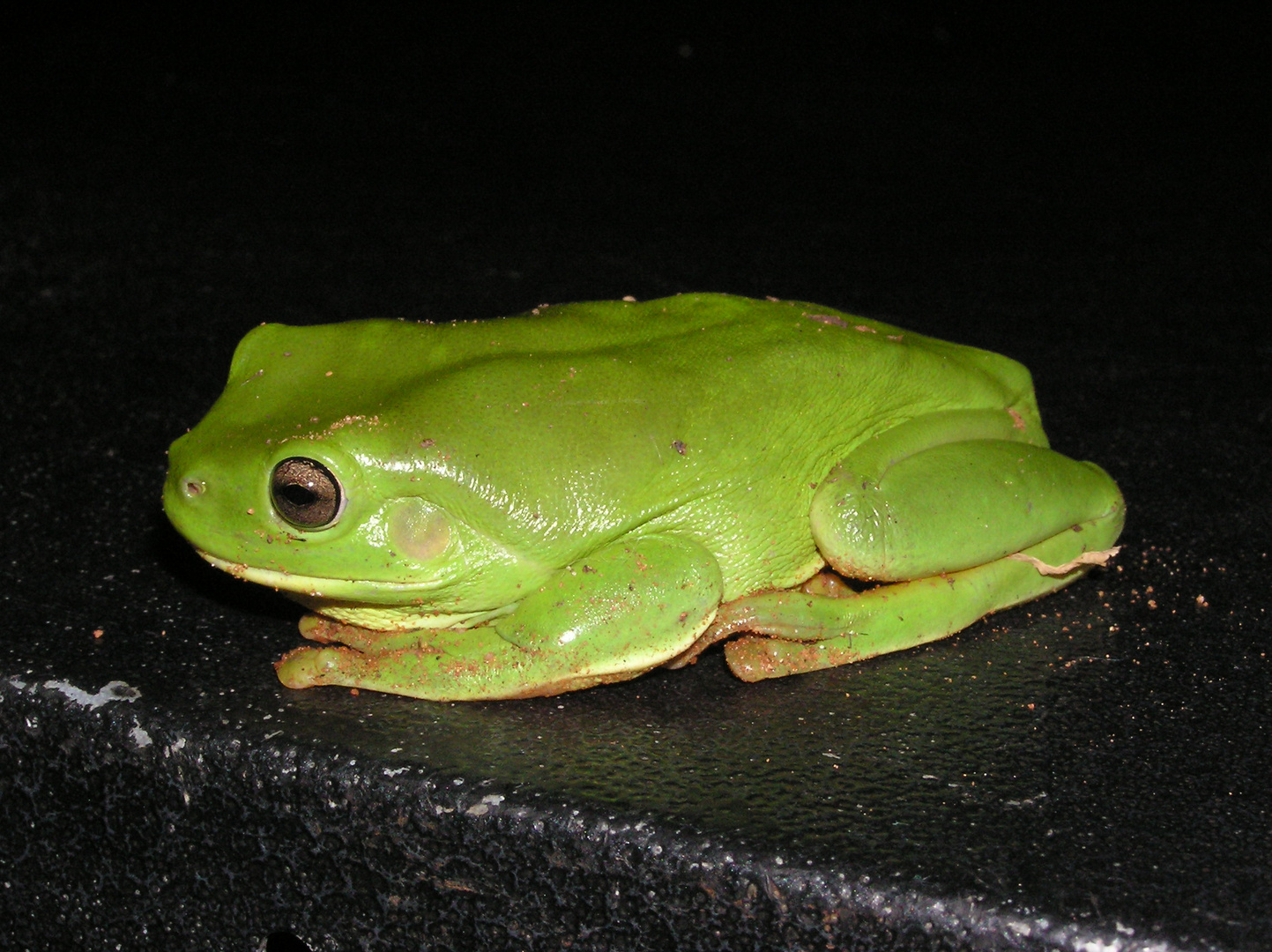 grüner Baumfrosch