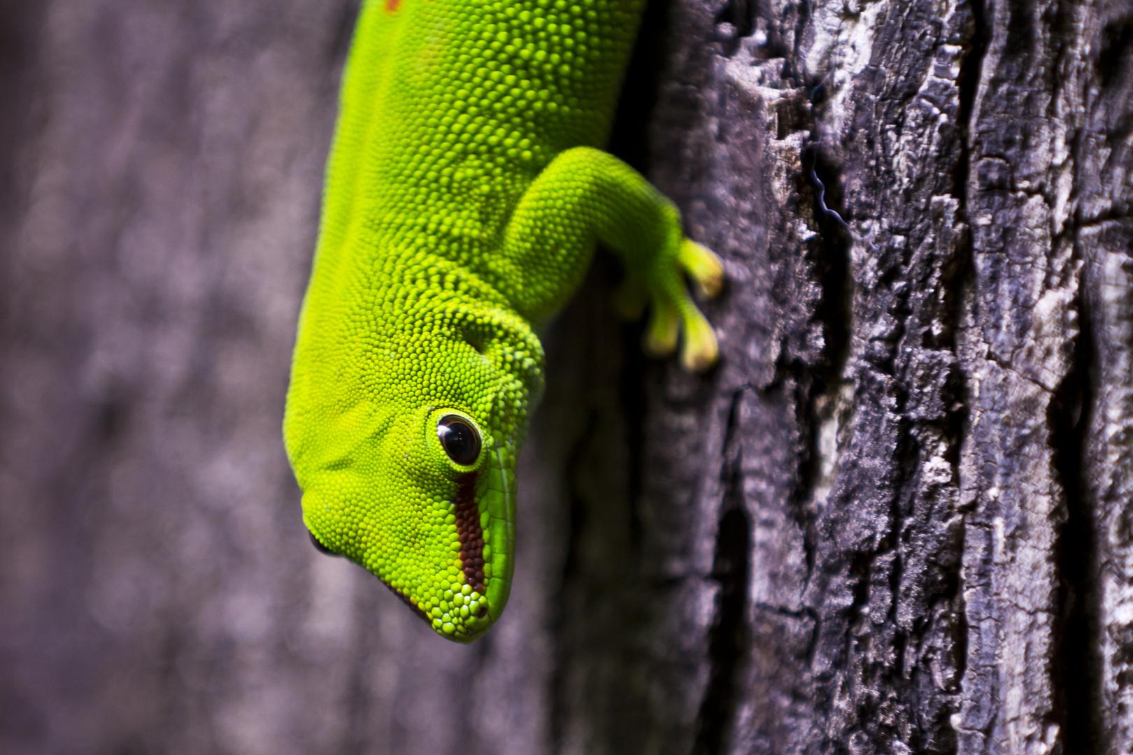 grüner Baumgecko