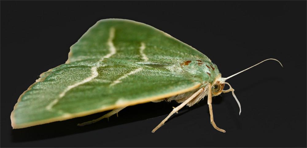 Grüner Falter