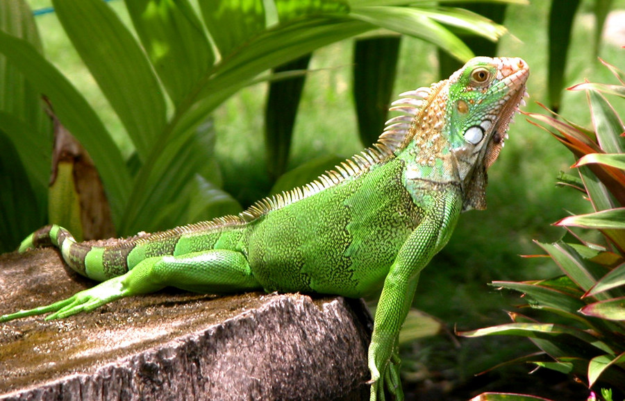 Grüner Iguana