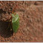 Grüner Käfer ???