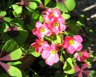 Grüner Klee (1) (Rote Blüten)