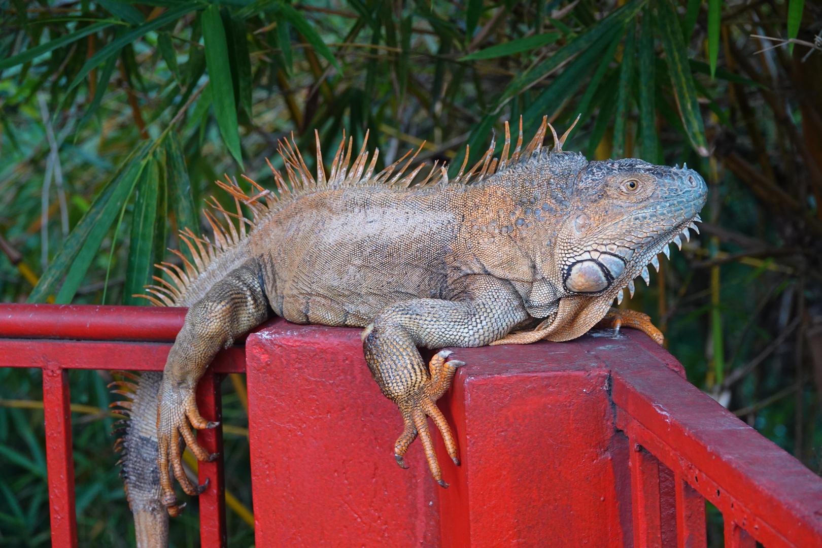 grüner Leguan - Männchen Foto & Bild   zoo, tiere