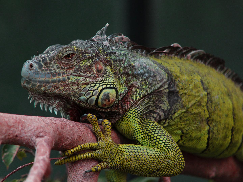 grüner Leguan 1