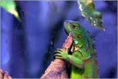 ... grüner Leguan ...