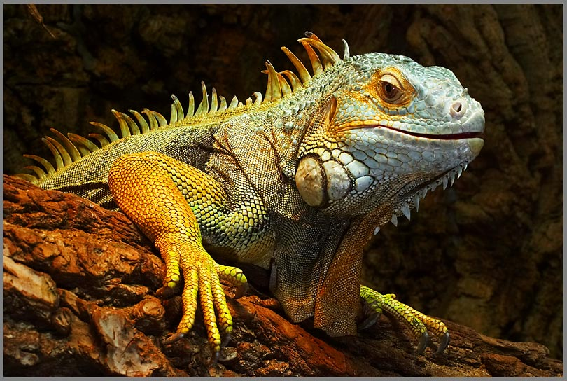 Grüner Leguan   Tiere   Weitere Reptilien   Goruma