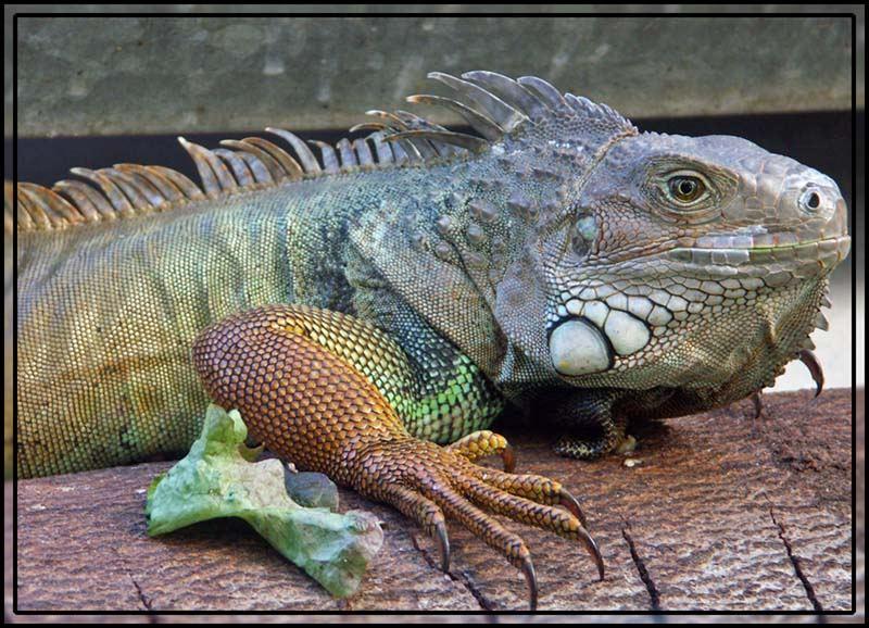 Grüner Leguan aus`m Osnabrücker Zoo