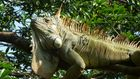 grüner Leguan, Costa Rica