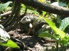 Grüner Leguan - Costa Rica