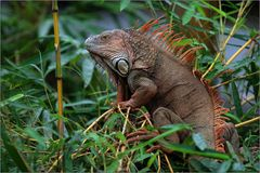 grüner leguan / green iguana / iguana iguana (60 cm)