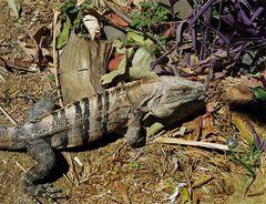 Grüner Leguan ( Iguana iguana ),