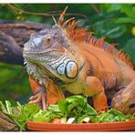 grüner Leguan - Männchen