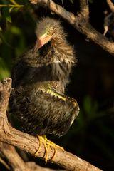 Grüner Reiher / Young Green Heron