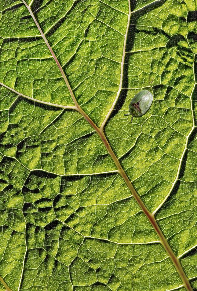 Grüner Schildkäfer gut getarnt auf einem Blatt!