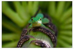 Grüner Taggecko auf Bananenblütte