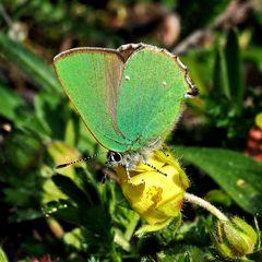 Grüner Zipfelfalter (Callophris rubi)