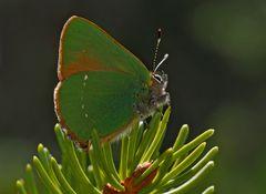 Grüner Zipfelfalter (Callophrys rubi) - Thècle de la ronce.