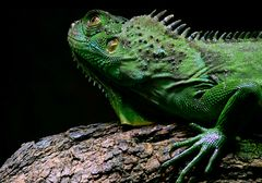 "GrünerLeguan im Zoo Köln "" Iguana iguana "" *reload*"