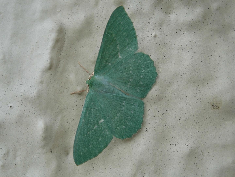 Grünes Blatt - Geometra Papilionaria 2