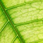 Grünes Blatt im Gegenlicht