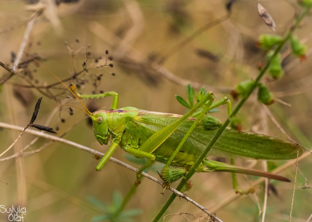 Grünes Heupferd (Tettigonia viridissima)