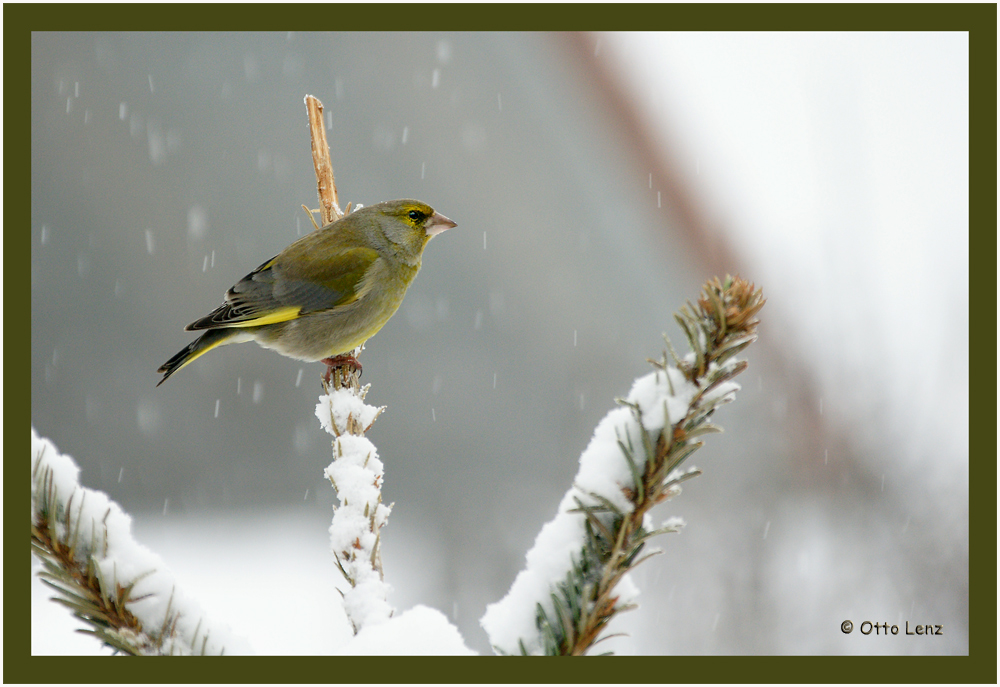 Grünfink bei Schneetreiben