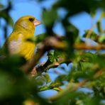 Grünfink gut versteckt,  well hidden greenfinch, Verderón bien escondido