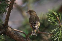 Grünfink im Geäst