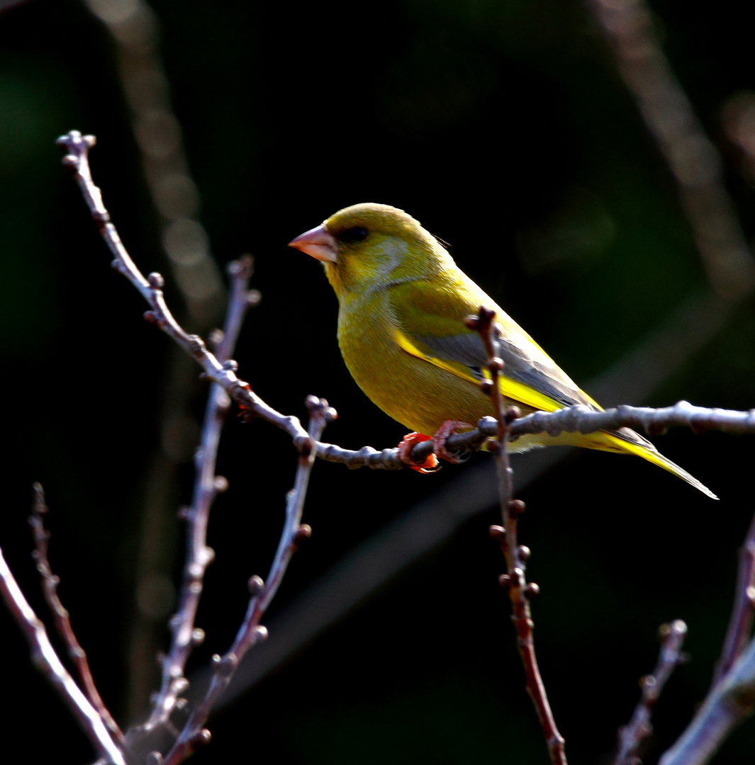 Grünfink im Gegenlicht