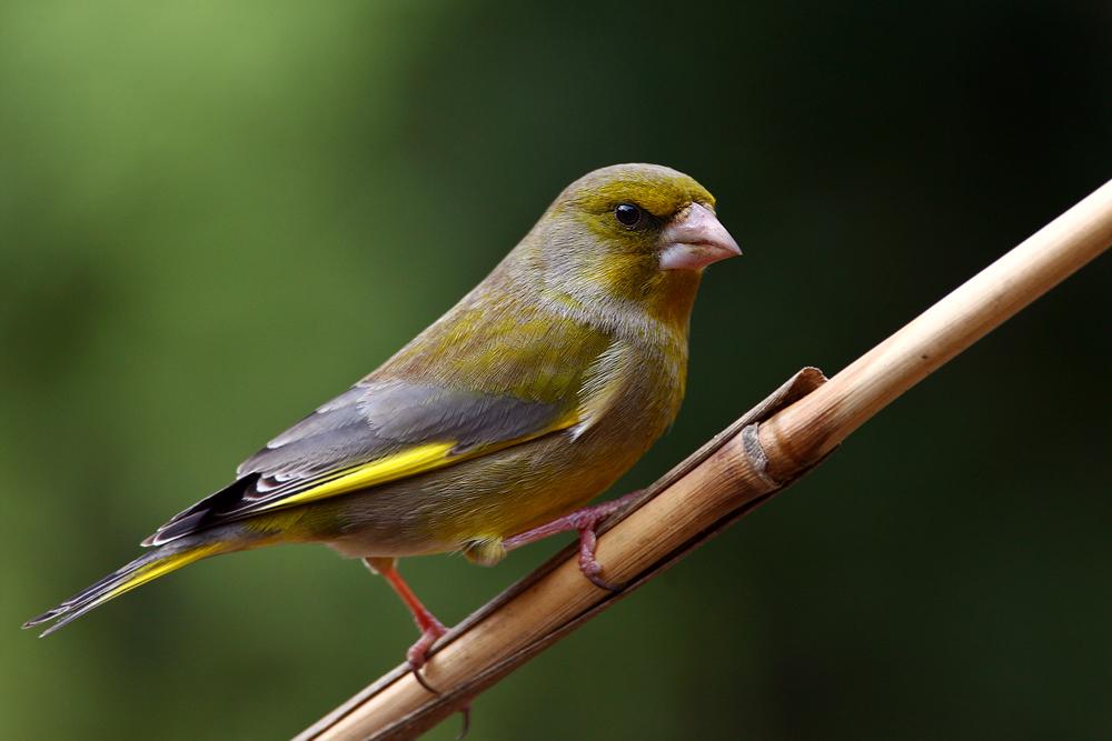 Grünfink im Grünen