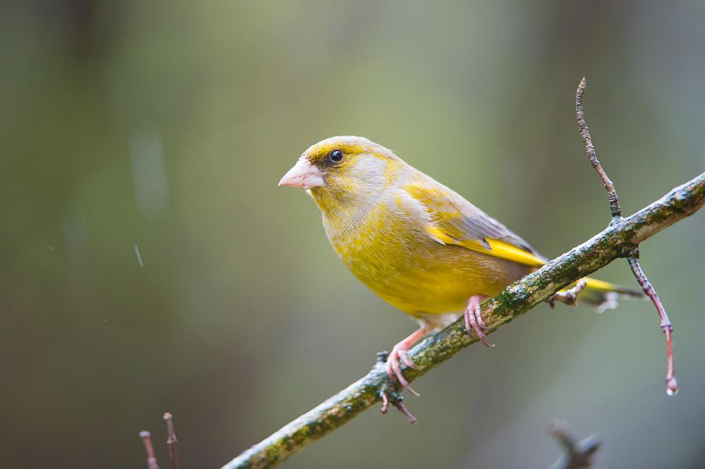 Grünfink im Regen