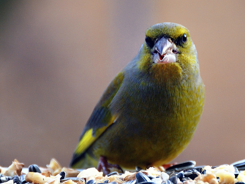 Grünfink-Männchen...