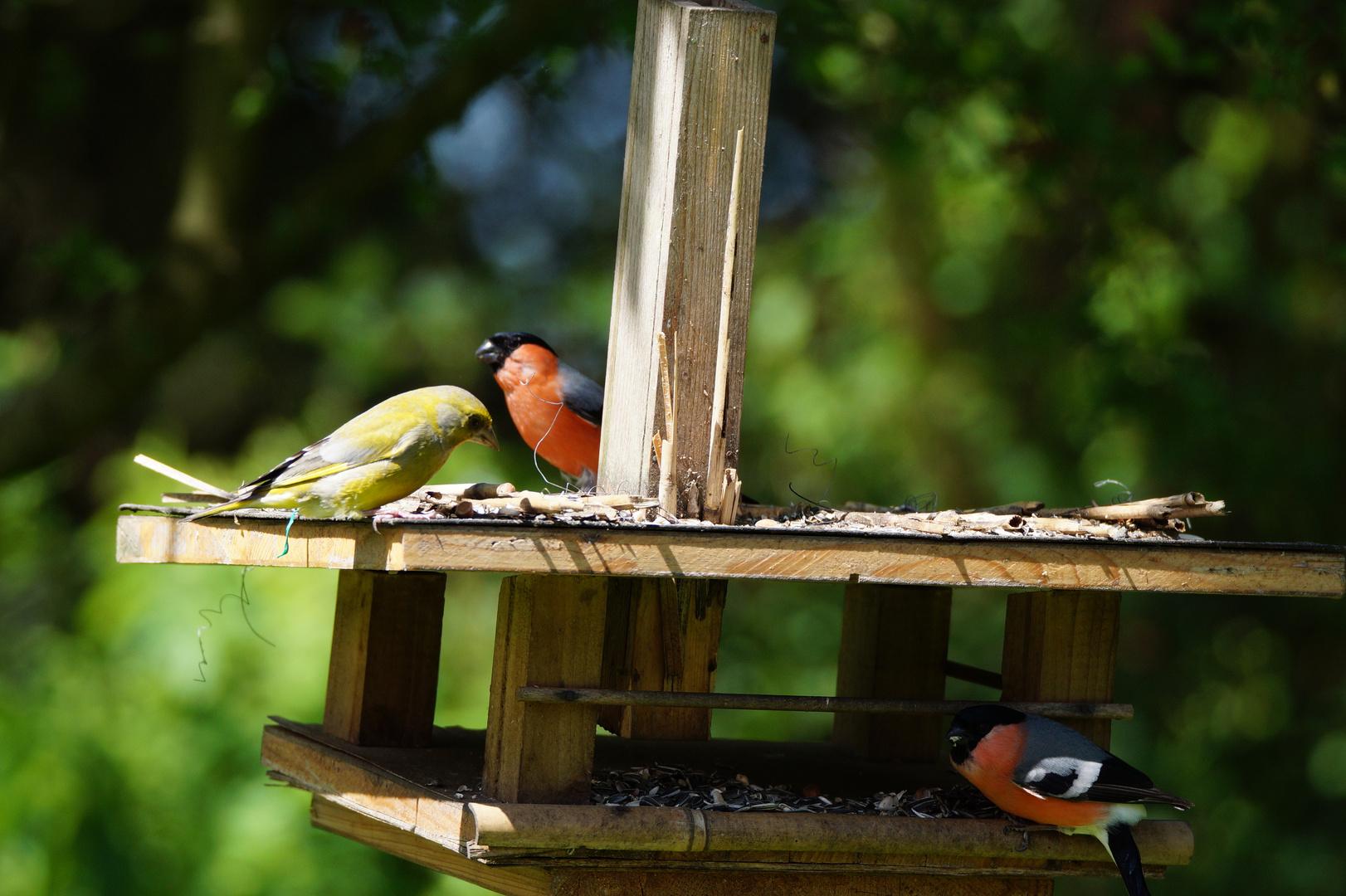 Grünfink und Gimpel