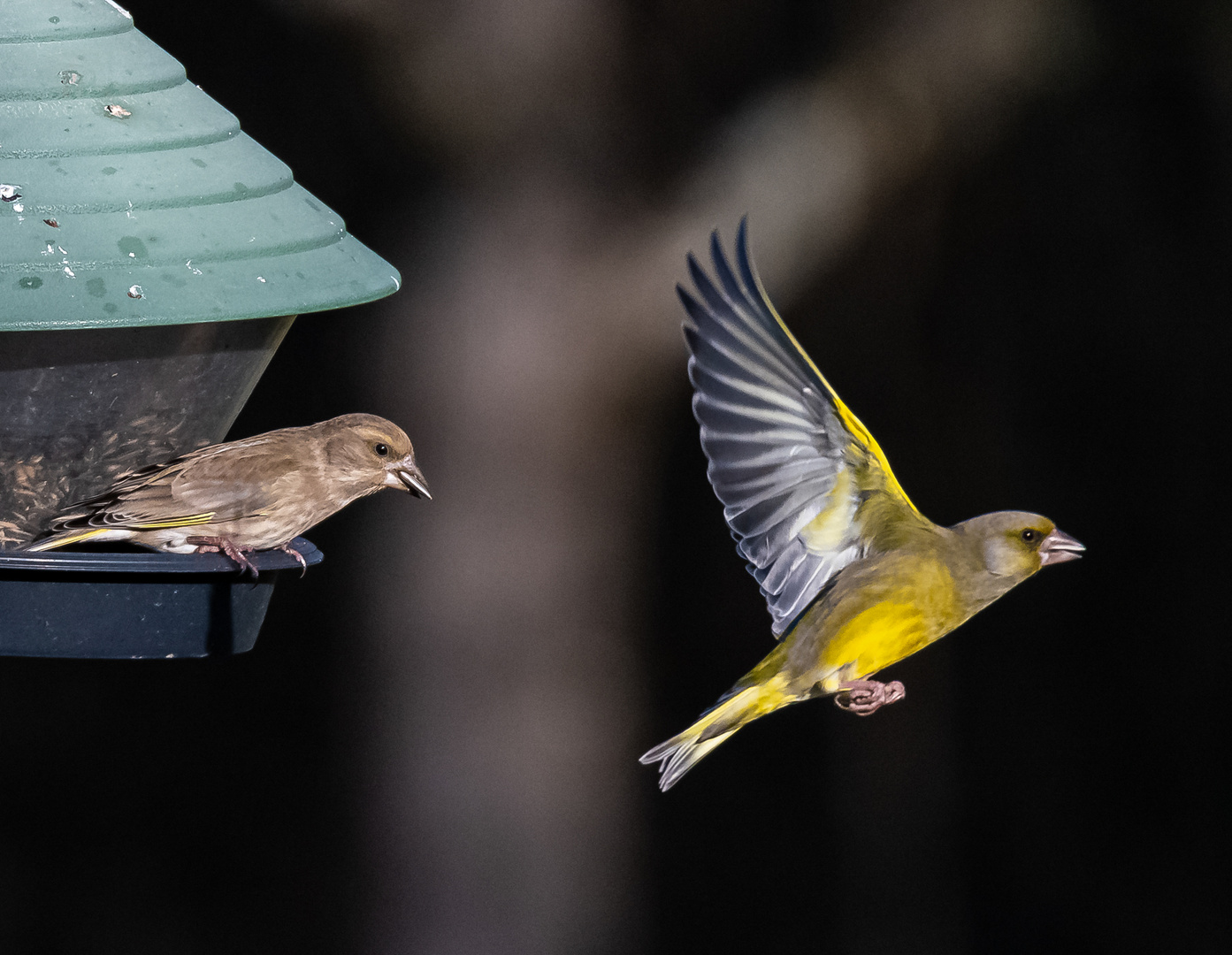 Grünfinken an einem Futterhäuschen