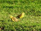 Grünfinken im Grünen