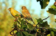 Grünfinken in Warteposition